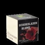 Schokoladenblumen-Pflanze